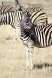 Zebra nova na grama no parque nacional de Etosha Fotografia de Stock Royalty Free