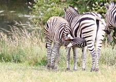 Zebra Nursing her Colt Royalty Free Stock Images