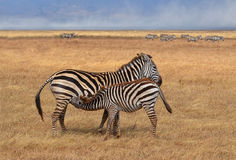 Zebra Nursing Royalty Free Stock Image