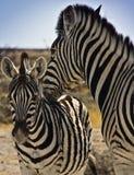 Zebra nuzzling baby Stock Image