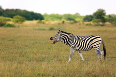 Zebra. In the Nxai Pan Nationalpark Stock Photo