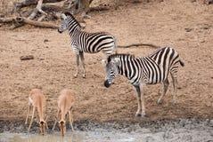 Zebra observando impalas bebendo Imagem de Stock Royalty Free