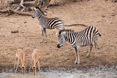 Zebra observing drinking impalas Royalty Free Stock Image