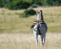Zebra obserwuje krajobraz Zdjęcia Stock