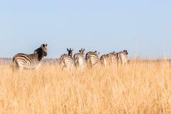 Zebra obszarów trawiastych przyrody zwierzęta Obraz Royalty Free