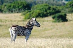 Zebra od strony Obraz Stock
