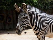 Zebra oder Klasse Equus Lizenzfreie Stockbilder