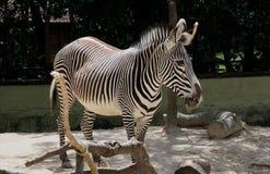 Zebra oder Klasse Equus Stockbilder