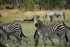 Zebra ogier Fotografia Stock