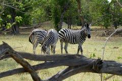 Zebra ogier Zdjęcie Royalty Free