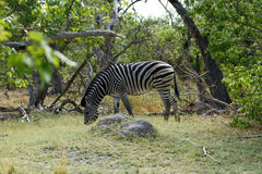 Zebra ogier Obraz Royalty Free