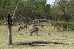Zebra ogier Zdjęcia Royalty Free