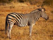 Zebra ogier Fotografia Royalty Free