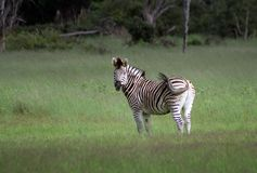 Zebra in the Okavango Royalty Free Stock Image