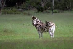 Zebra in the Okavango. Common zebra on the plains of the Okavango delta, Botswana, Africa Royalty Free Stock Image