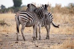 Zebra - Okavango-Delta - Moremi N P lizenzfreie stockbilder