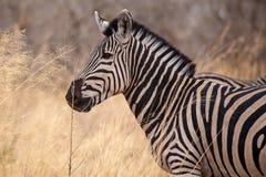 Zebra - Okavango Delta - Moremi N.P. Royalty Free Stock Photo