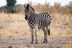 Zebra - Okavango Delta - Moremi N.P. Royalty Free Stock Photos