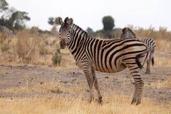 Zebra - Okavango Delta - Moremi N.P. Royalty Free Stock Image