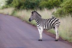 Free Zebra On Road Stock Images - 17904264