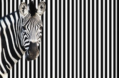 Zebra On Striped Background Looking At Camera Royalty Free Stock Images