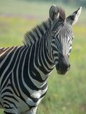 Zebra On The South African Savannah. Royalty Free Stock Image