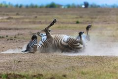Zebra one the dust at masai mara national park Royalty Free Stock Images