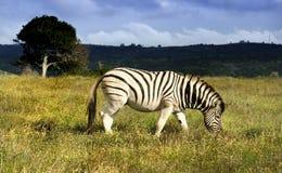 Zebra op de Vlaktes Royalty-vrije Stock Afbeeldingen