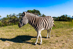 Zebra op de weide van een savanne Royalty-vrije Stock Fotografie