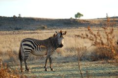 Zebra op een gebied Stock Afbeeldingen
