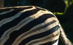 Zebra op een safari in Japan stock foto's