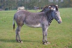 Zebra op gras royalty-vrije stock foto