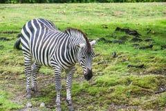 Zebra op het gebied bij de dierentuin royalty-vrije stock foto's
