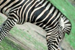 Zebra op het gras Stock Foto's