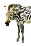 Zebra op witte achtergrond wordt geïsoleerd die Royalty-vrije Stock Fotografie