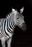 Zebra op Zwarte stock fotografie