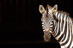 Zebra op zwarte achtergrond Royalty-vrije Stock Afbeeldingen