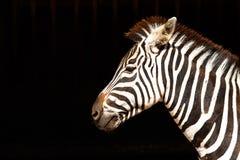 Zebra op zwarte achtergrond Royalty-vrije Stock Afbeelding