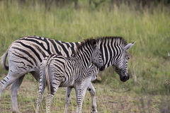 Zebra in open plains Royalty Free Stock Photos