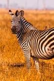 Zebra in an open savannah flood plain Royalty Free Stock Photography