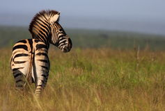 Zebra in open space Royalty Free Stock Images