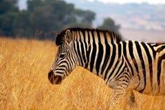 Zebra in open vlaktes Stock Foto