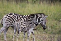 Zebra in open vlaktes royalty-vrije stock foto's