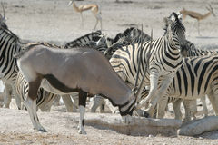 Zebra and Oryx Stock Photos