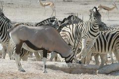 Zebra and Oryx. Closeup of herd of Zebra and Oryx in barren landscape Stock Photos
