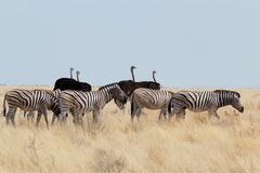 Zebra and ostrich in african bush Stock Photography