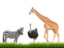 Zebra ostrich giraffe with green grass isolated Royalty Free Stock Photos