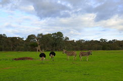 Zebra and ostrich Stock Image