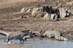 Zebra out of the river and moves directly to the c Royalty Free Stock Photos