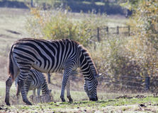 Zebra outdoor Stock Photo